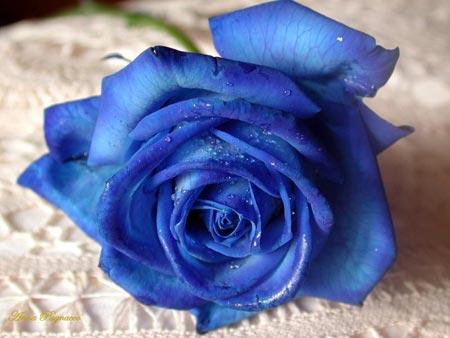 blue-rose-via-geekologie